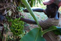 bananenernte